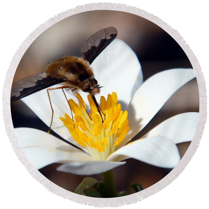 Bee Fly Round Beach Towel featuring the photograph Bee Fly And Bloodroot by Cascade Colors