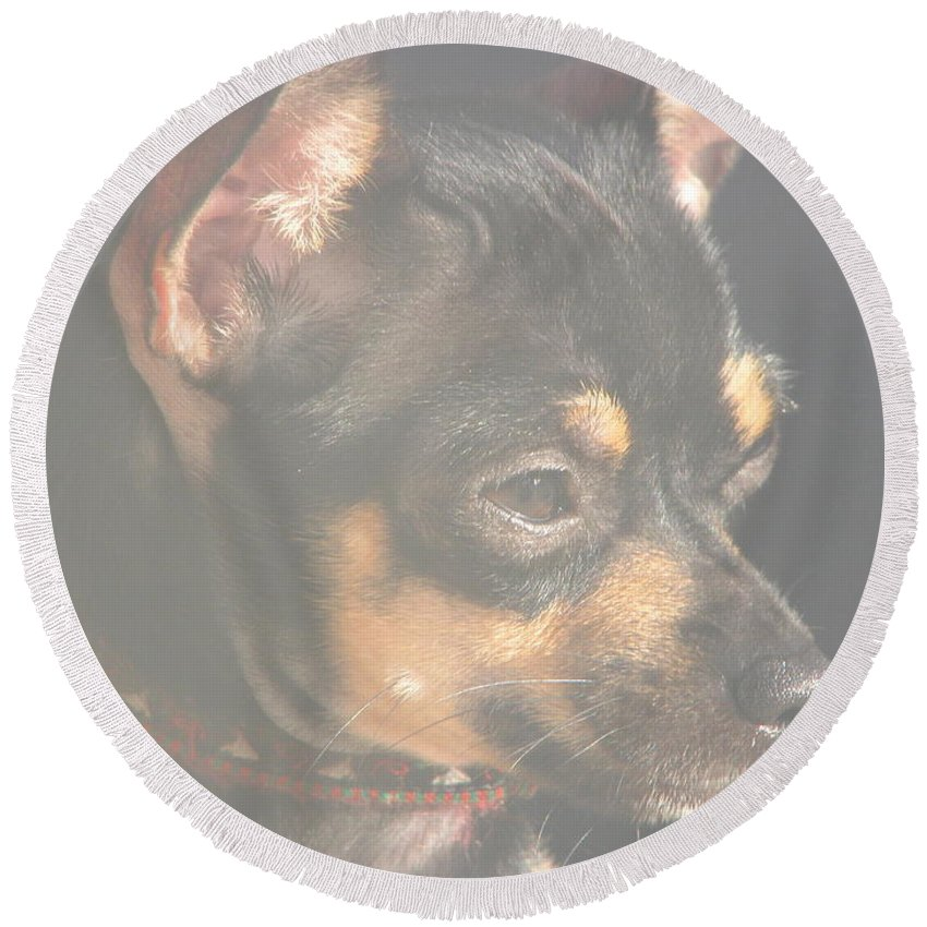 Art For The Wall...patzer Photography.chihuahua Round Beach Towel featuring the photograph Bella by Greg Patzer
