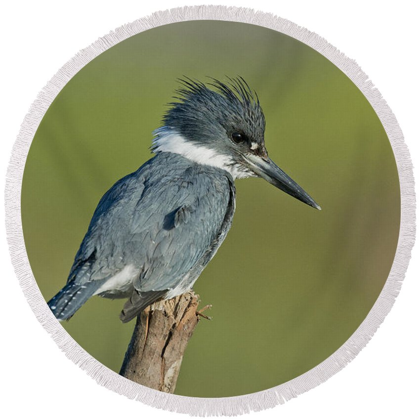 Belted Kingfisher Round Beach Towel featuring the photograph Belted Kingfisher by Anthony Mercieca