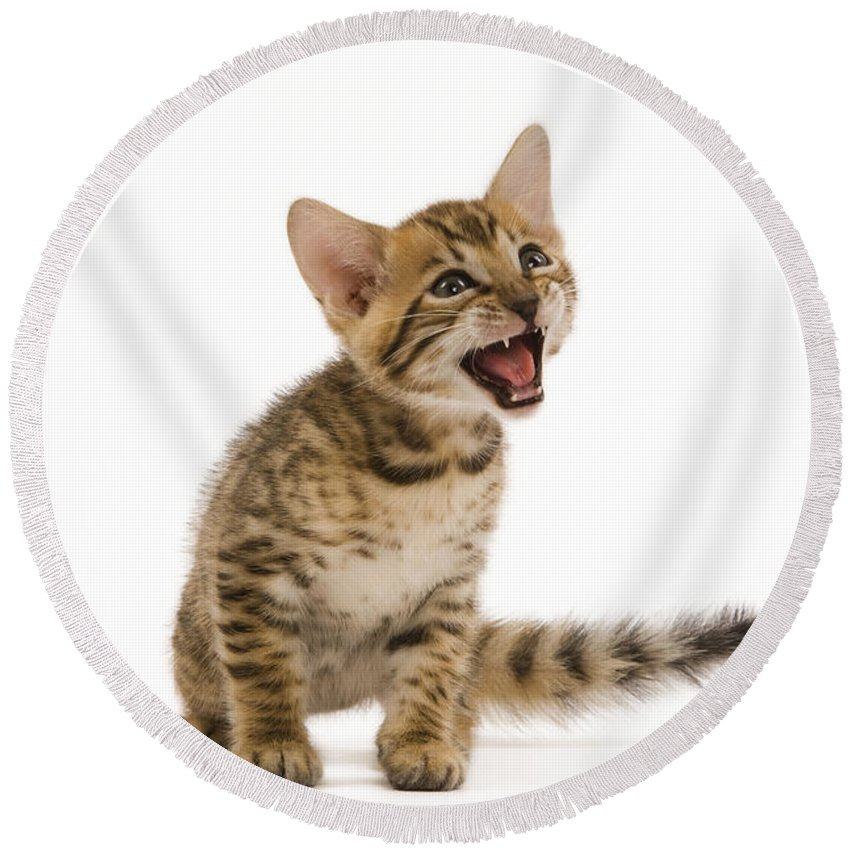 Cat Round Beach Towel featuring the photograph Bengal Kitten by Jean-Michel Labat