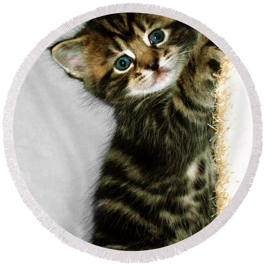 Kitten Round Beach Towel featuring the photograph Benny The Kitten Playing by Terri Waters