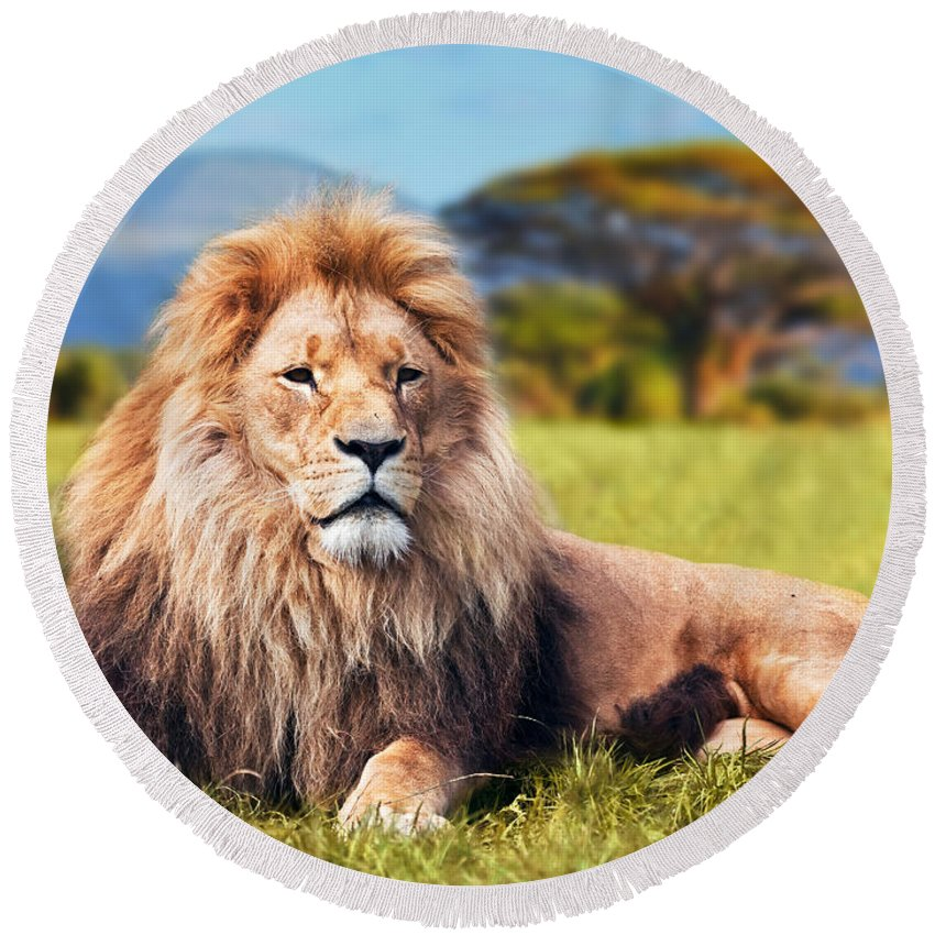 Lion Round Beach Towel featuring the photograph Big Lion Lying On Savannah Grass by Michal Bednarek