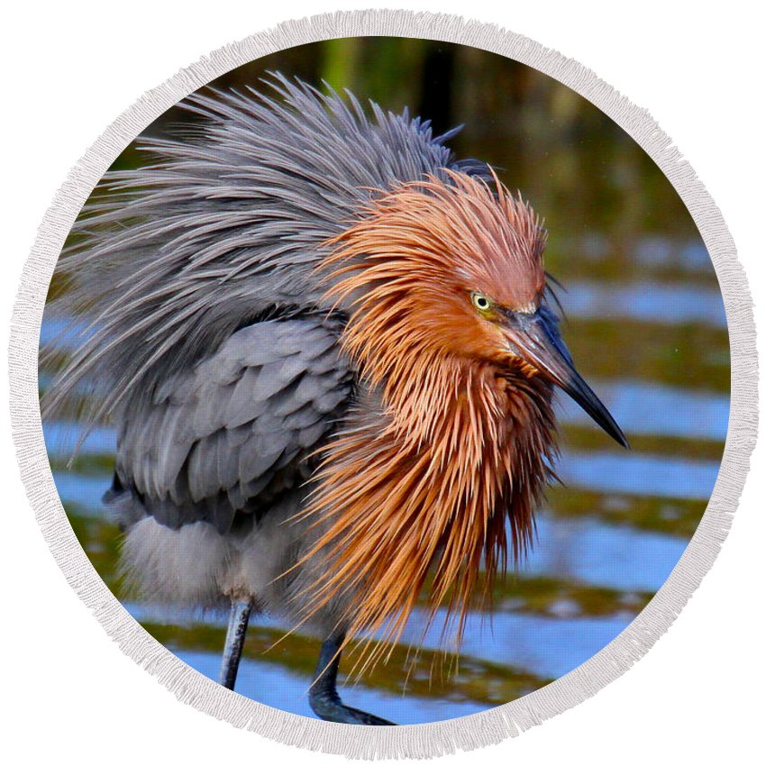Reddish Egret Round Beach Towel featuring the photograph Big Red All Fuzzed Out by Barbara Bowen