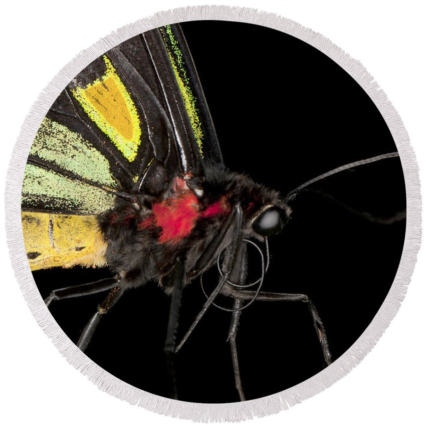 Closeup Round Beach Towel featuring the photograph Birdwing Butterfly by Anthony Totah