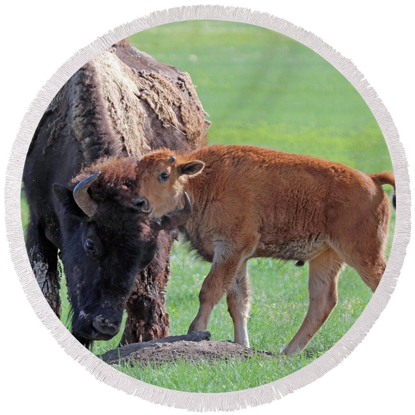 Bison Round Beach Towel featuring the photograph Bison With Young Calf by Bill Gabbert