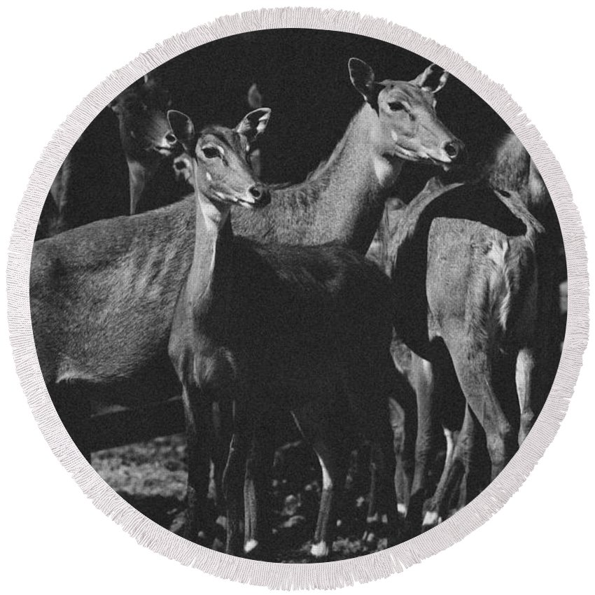 Antelopes Round Beach Towel featuring the photograph Black And White Antelopes by Pati Photography