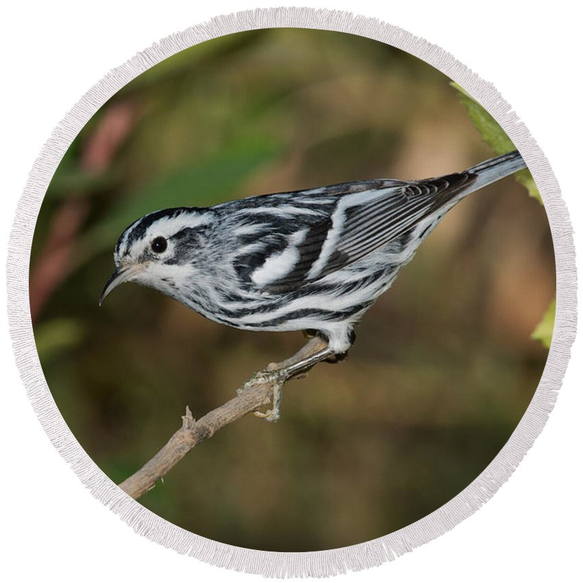 Fauna Round Beach Towel featuring the photograph Black And White Warbler by Anthony Mercieca