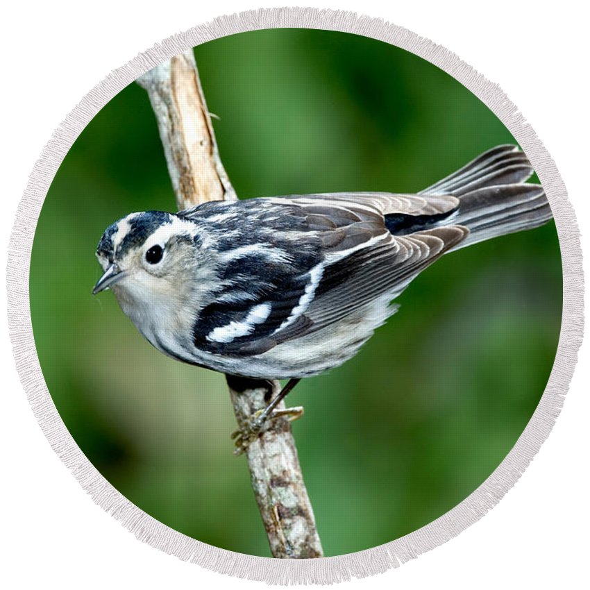 Fauna Round Beach Towel featuring the photograph Black-and-white Warbler Mniotilta Varia by Anthony Mercieca