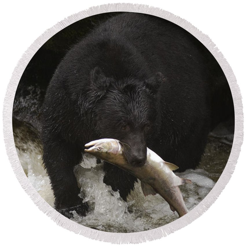 Ursus Americanus Round Beach Towel featuring the photograph Black Bear With Salmon by Ron Sanford