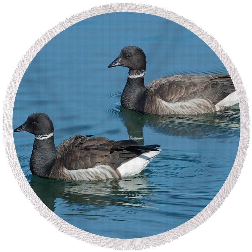 Animal Round Beach Towel featuring the photograph Black Brant Pair Swimming by Anthony Mercieca