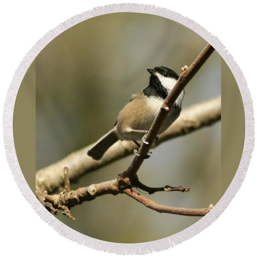 Black-capped Chickadee Round Beach Towel featuring the photograph Black-capped Chickadee by Teresa A Lang