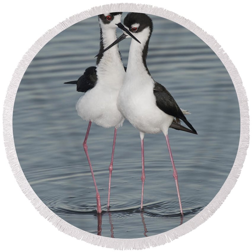 Black-necked Stilt Round Beach Towel featuring the photograph Black-necked Stilts by Anthony Mercieca