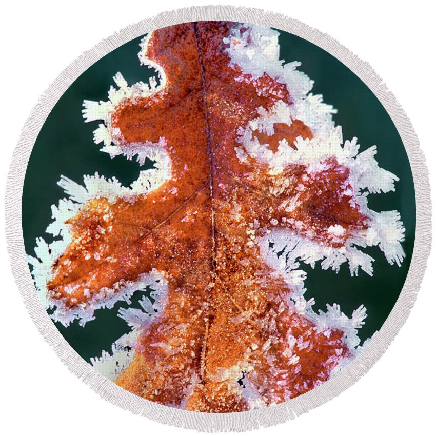 North America Round Beach Towel featuring the photograph Black Oak Leaf Rime Ice Yosemite National Park California by Dave Welling