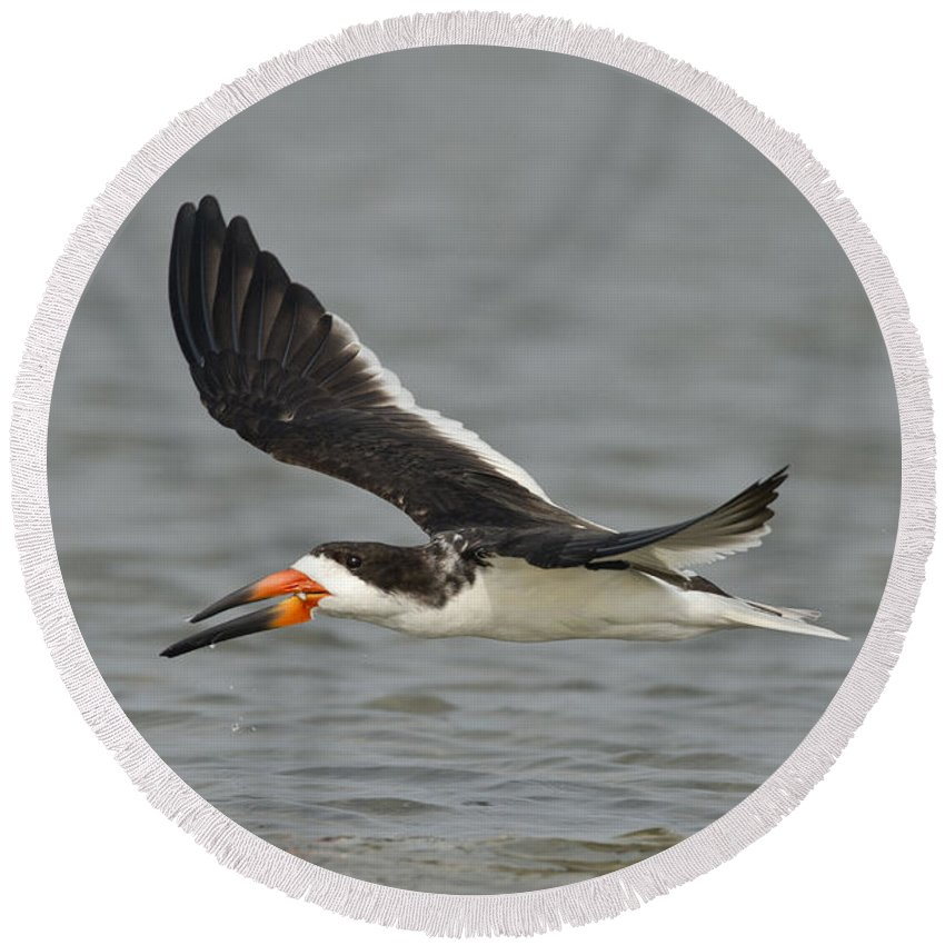 Black Skimmer Round Beach Towel featuring the photograph Black Skimmer Eating Fish by Anthony Mercieca