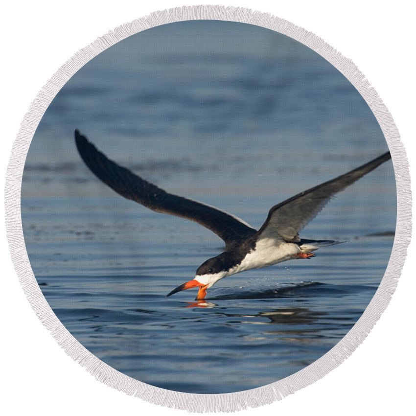 Fauna Round Beach Towel featuring the photograph Black Skimmer Rynchops Niger Skimming by Anthony Mercieca