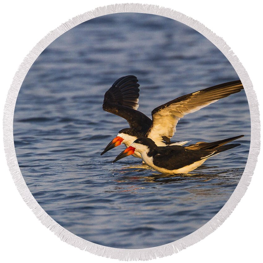 Doug Lloyd Round Beach Towel featuring the photograph Black Skimmers by Doug Lloyd