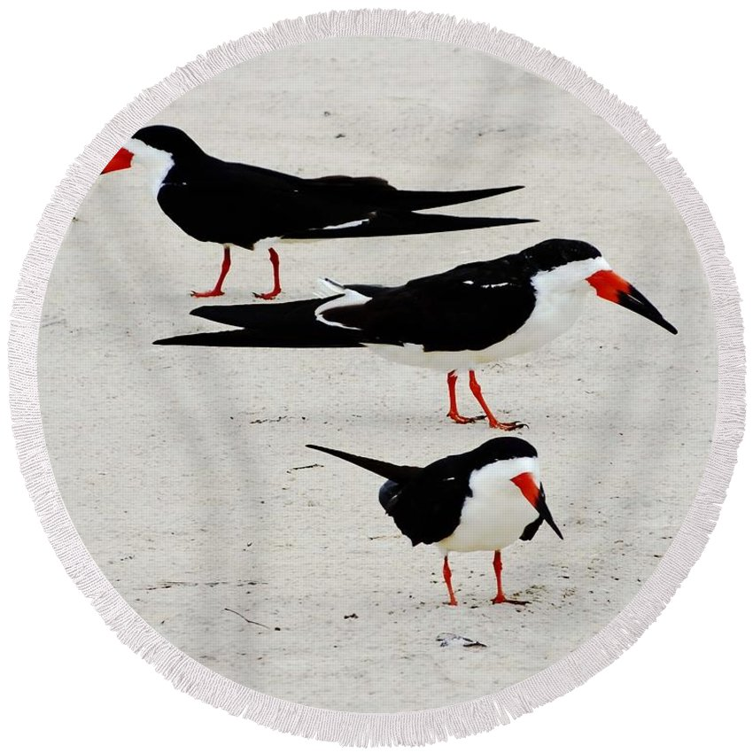 Shore Birds Round Beach Towel featuring the photograph Black Skimmers by Lizi Beard-Ward