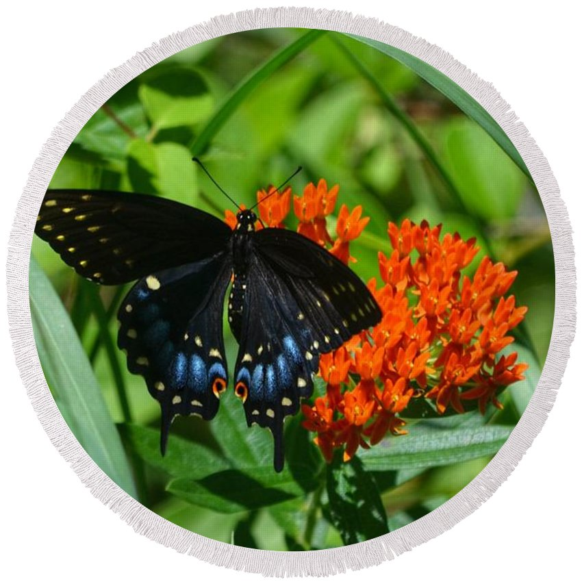 Black Swallow Tail Butterfly Round Beach Towel featuring the photograph Black Swallow Tail On Beautiful Orange Wildlflower by Peggy Franz
