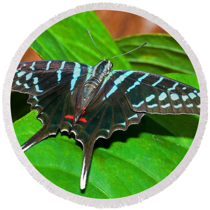 Animal Round Beach Towel featuring the photograph Black Swordtail Butterfly by Millard H. Sharp