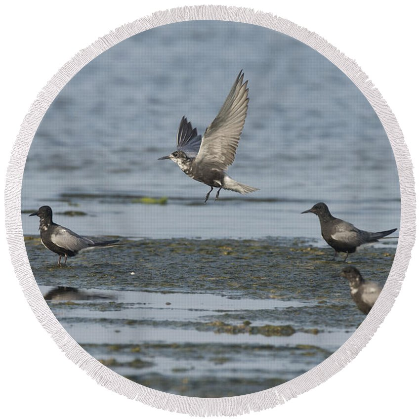 Black Tern Round Beach Towel featuring the photograph Black Terns by Anthony Mercieca