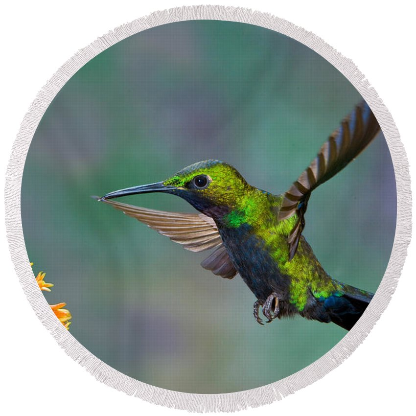 Animal Round Beach Towel featuring the photograph Black-throated Brilliant by Anthony Mercieca