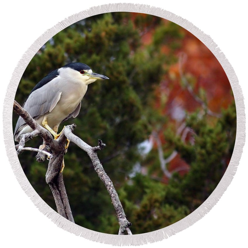 blacked-capped Night Heron #3 Round Beach Towel featuring the photograph Blacked-capped Night Heron #3 by David Cutts