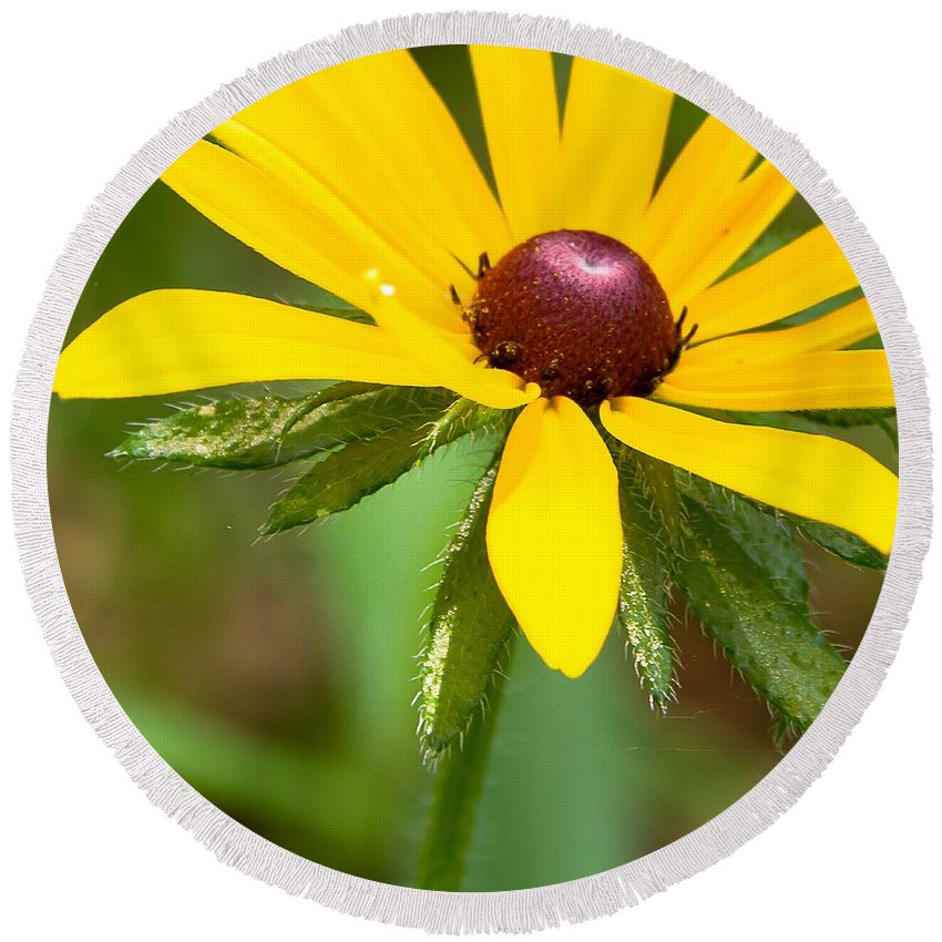 Blackeye Susan Round Beach Towel featuring the photograph Blackeyed Susan by Nikki Vig