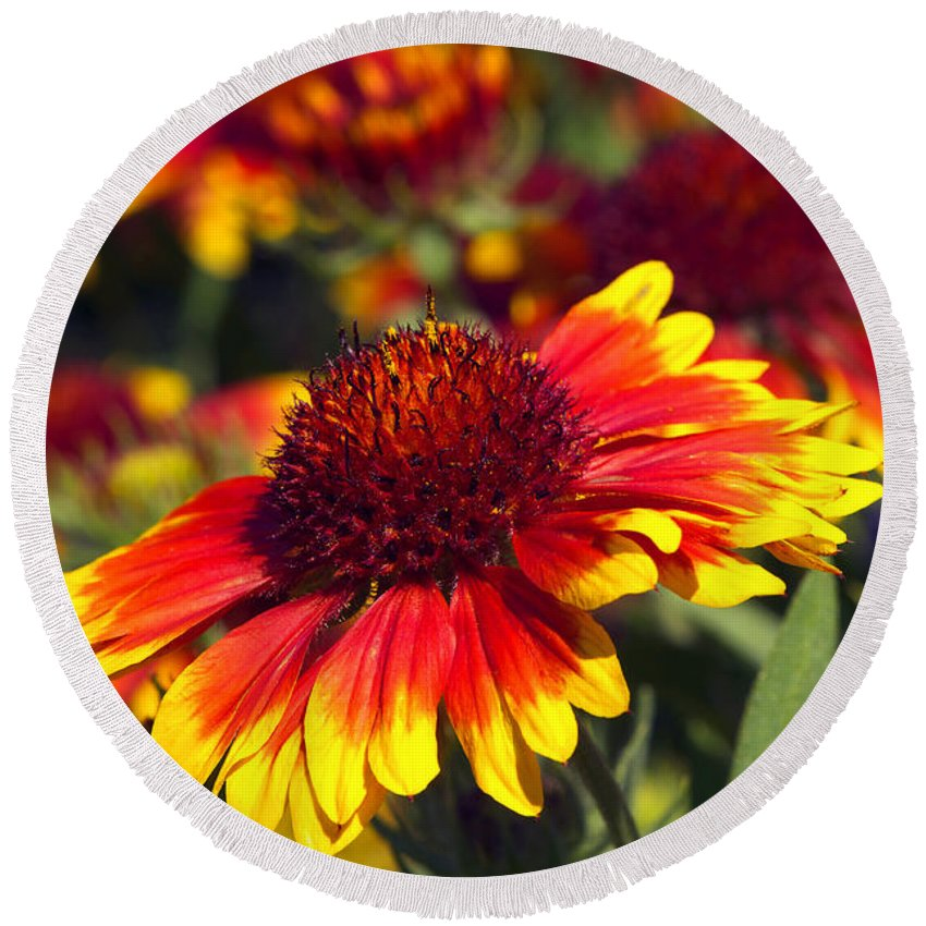 Blanket Flower Round Beach Towel featuring the photograph Blanket Flower by Sharon Talson