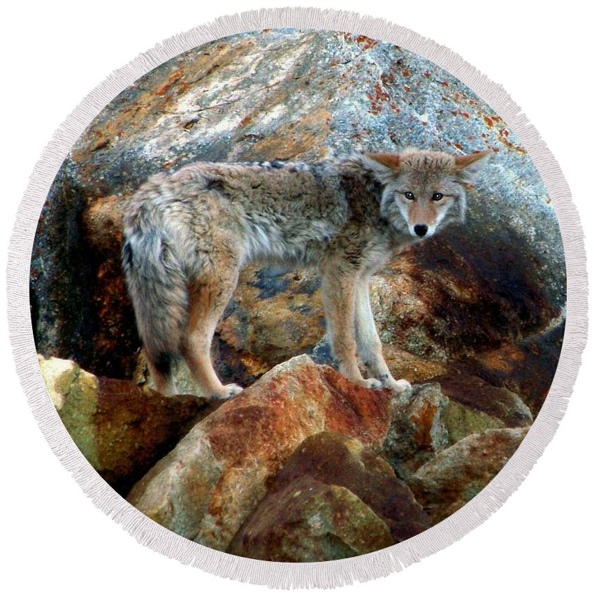 Coyotes Round Beach Towel featuring the photograph Blending In Nature by Karen Wiles