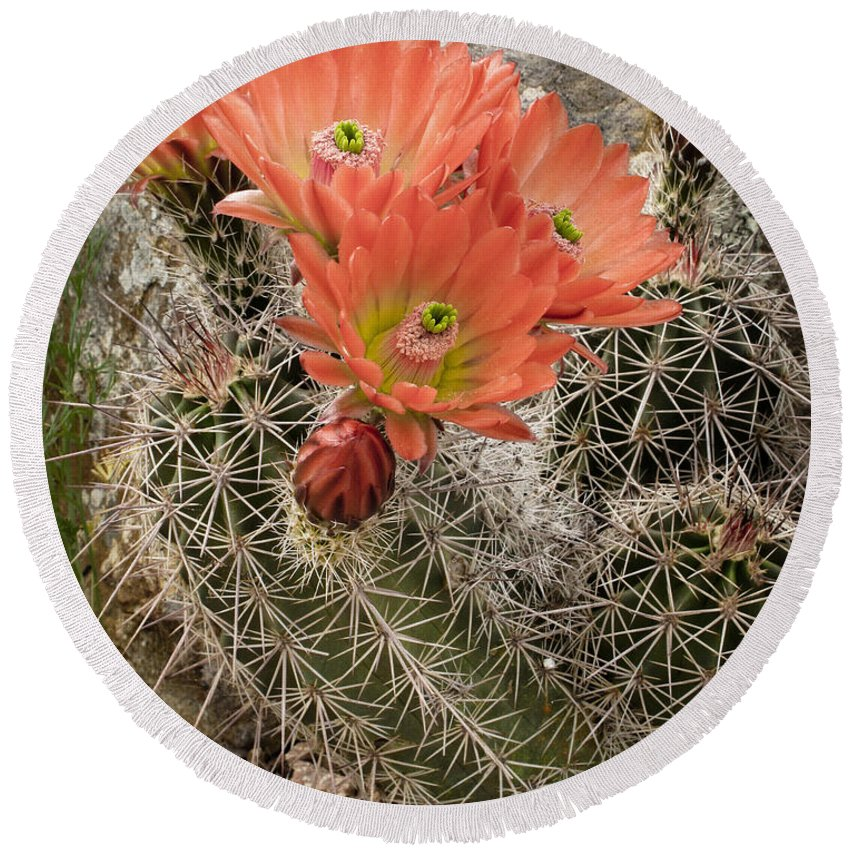 Bloom Round Beach Towel featuring the photograph Blooming Cacti by David and Carol Kelly