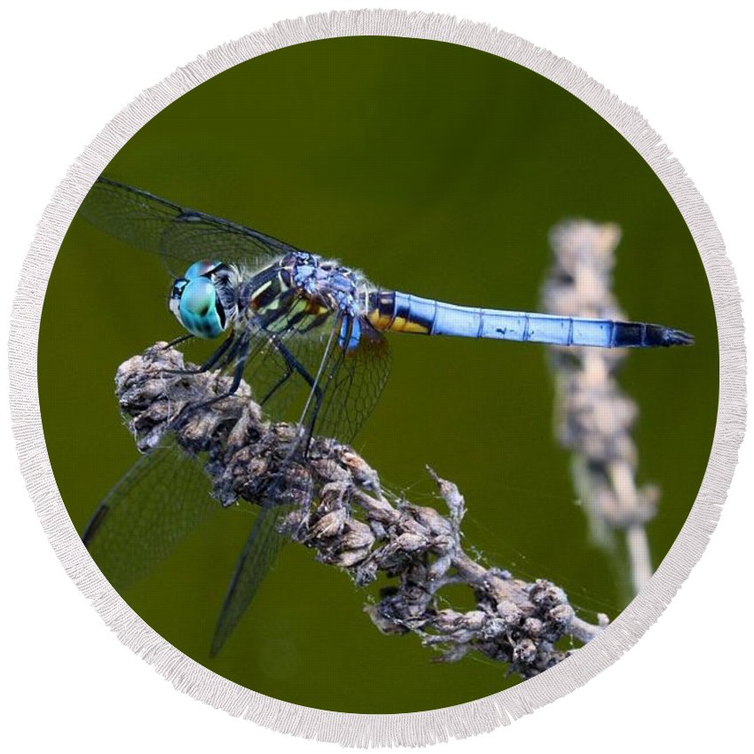 Blue Darter Round Beach Towel featuring the photograph Blue Darter by Kathryn Meyer