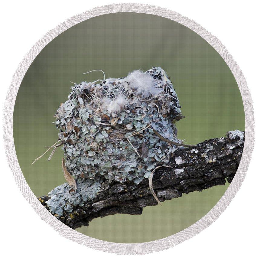 Blue-gray Gnatcatcher Round Beach Towel featuring the photograph Blue-gray Gnatcatcher Nest by Anthony Mercieca