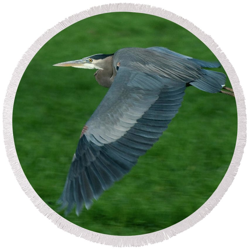 Birds Round Beach Towel featuring the photograph Blue Heron by Rod Wiens