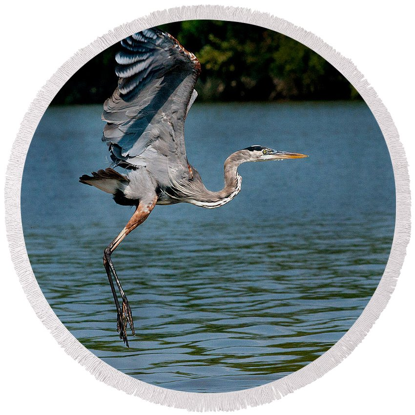 Blue Heron Round Beach Towel featuring the photograph Blue In Flight by Mitford Fontaine
