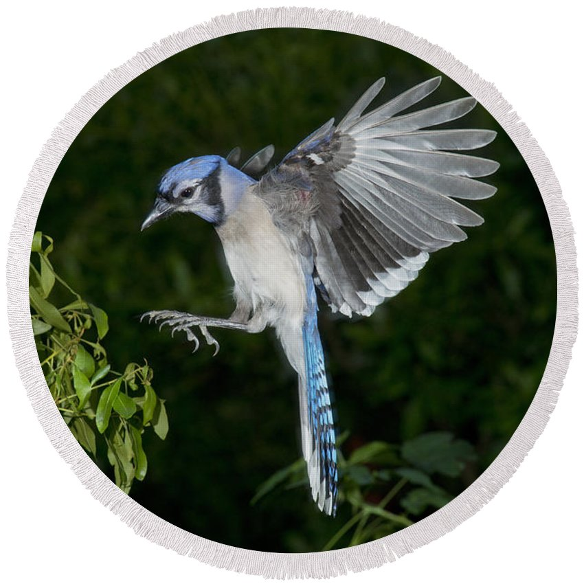 Blue Jay Round Beach Towel featuring the photograph Blue Jay by Anthony Mercieca