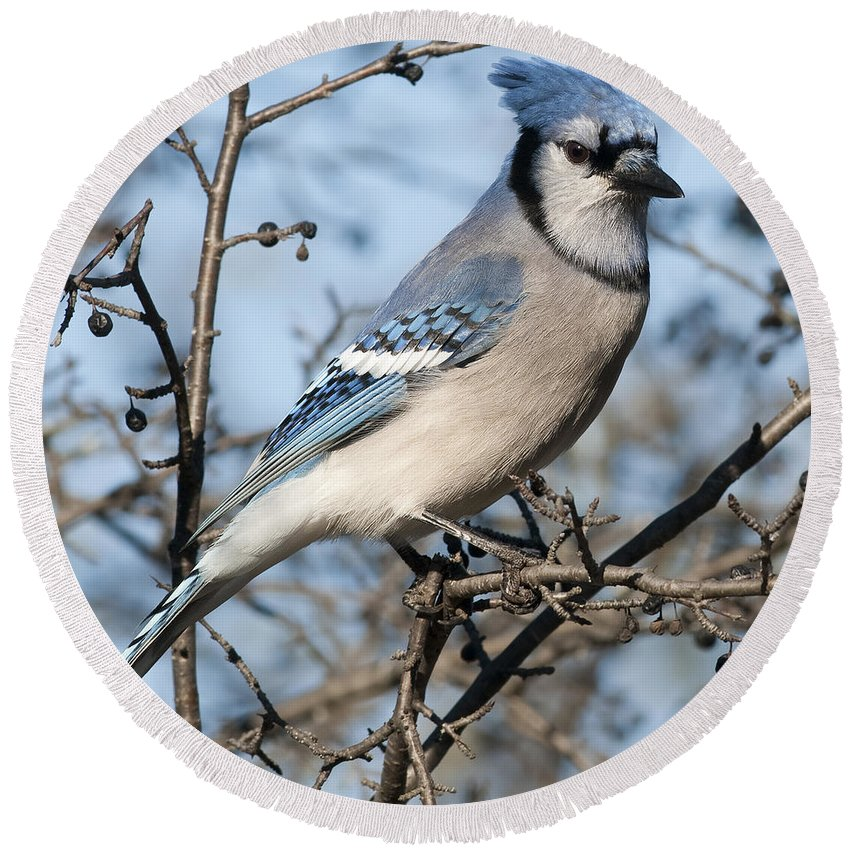 Festblues Round Beach Towel featuring the photograph Blue Jay.. by Nina Stavlund