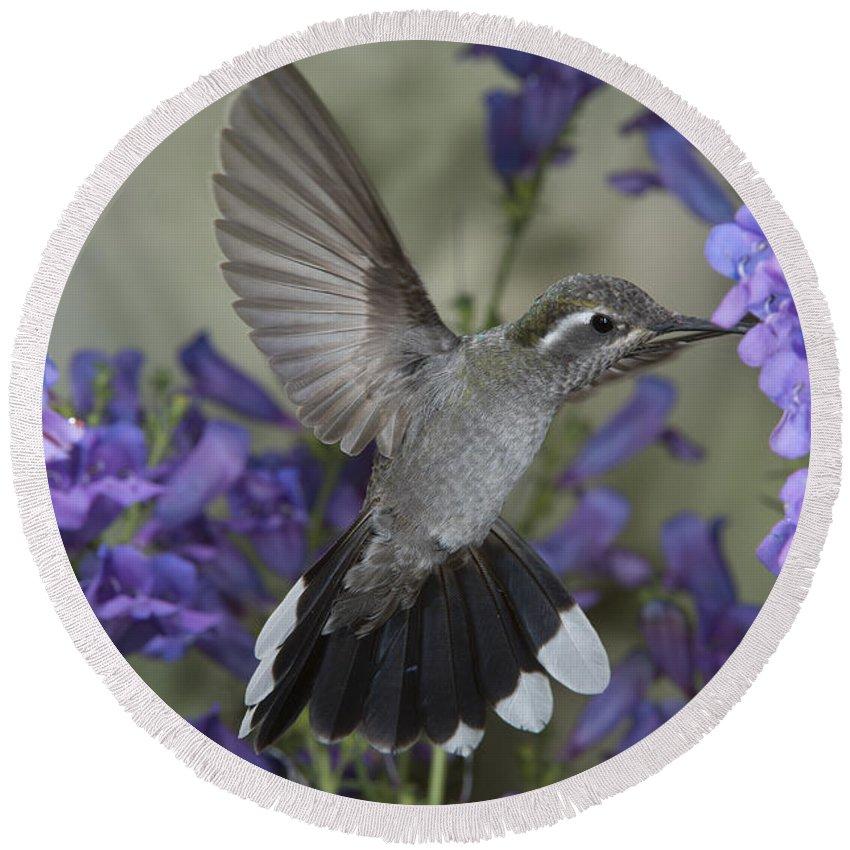 Blue-throated Hummingbird Round Beach Towel featuring the photograph Blue-throated Hummingbird by Anthony Mercieca