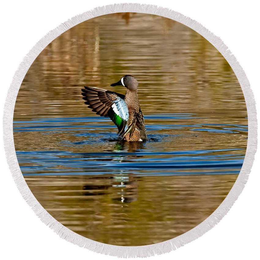 Fauna Round Beach Towel featuring the photograph Blue-winged Teal Flapping by Anthony Mercieca