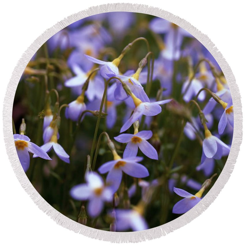 Bluets Round Beach Towel featuring the photograph Bluets by David Rucker