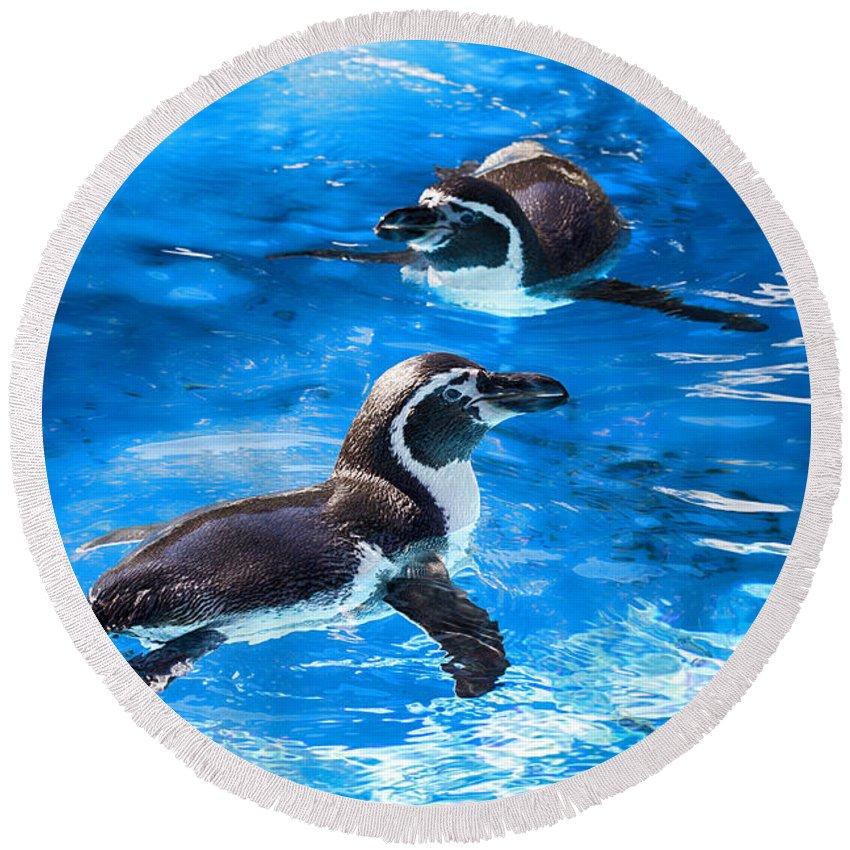 Maui Penguins Round Beach Towel featuring the photograph Bobbing Time by Douglas Barnard