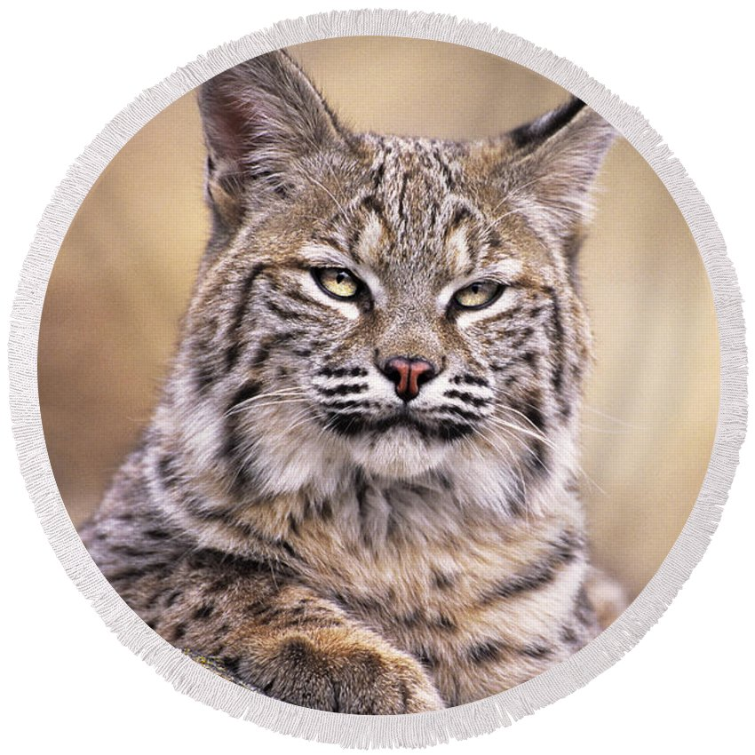 Bobcat Round Beach Towel featuring the photograph Bobcat Cub Portrait Montana Wildlife by Dave Welling