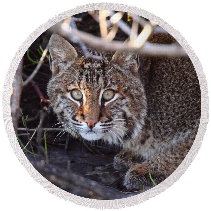 Bobcat Round Beach Towel featuring the photograph Bobcat Squared by Bruce J Robinson