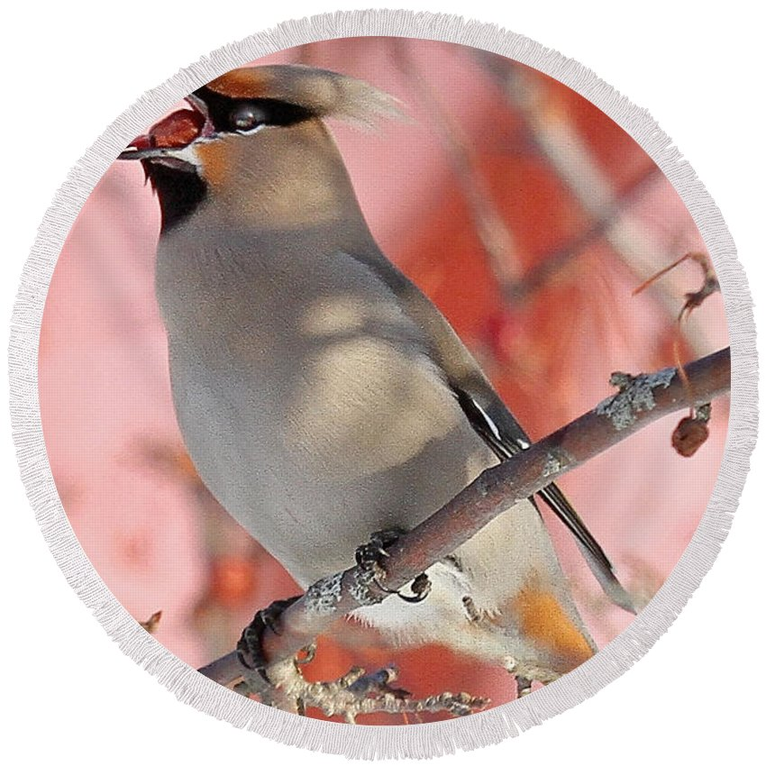 Maine Wildlife Round Beach Towel featuring the photograph Bohemian Waxwing by Sharon Fiedler
