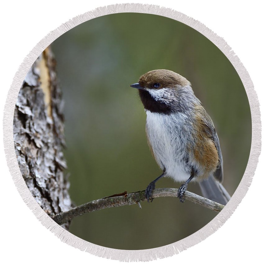 Boreal Chickadee Round Beach Towel featuring the photograph Boreal Chickadee by Tony Beck
