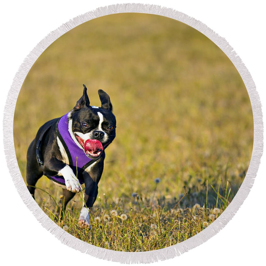 Action Round Beach Towel featuring the photograph Boston Terrier by Paul Fell