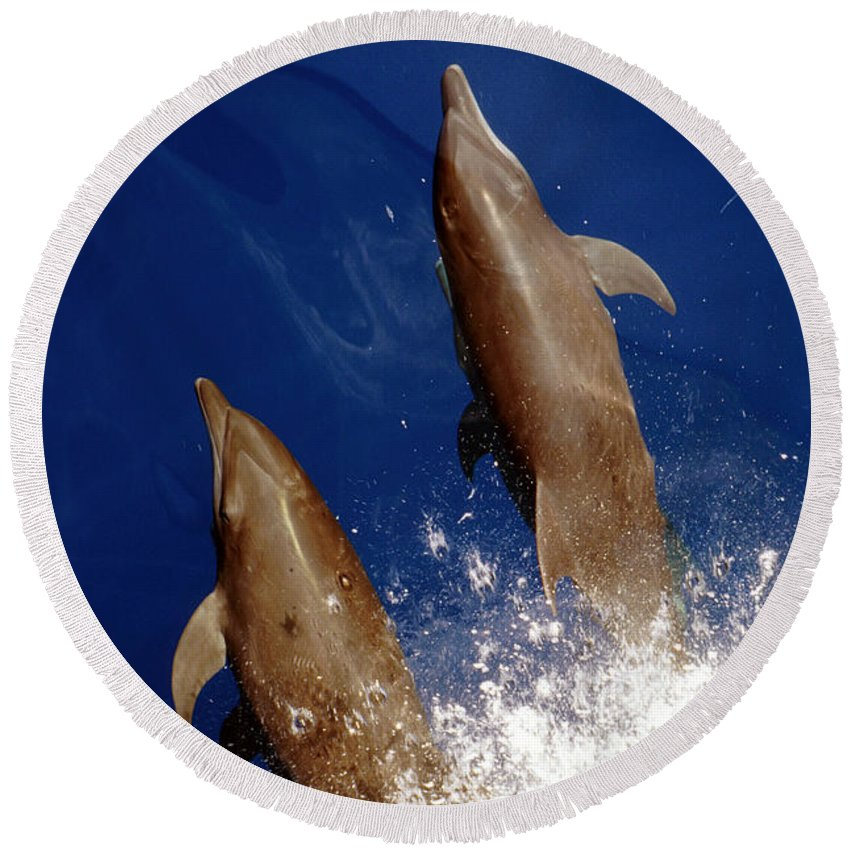 No People; Vertical; Outdoors; Day; Overhead View; Two Animals; Nature; Wildlife; Sunlight; Idyllic; Sea; Wave; Water; Bottlenose Dolphin; Tursiops Truncatus; Sealife Round Beach Towel featuring the photograph Bottlenose Dolphins Tursiops Truncatus by Anonymous