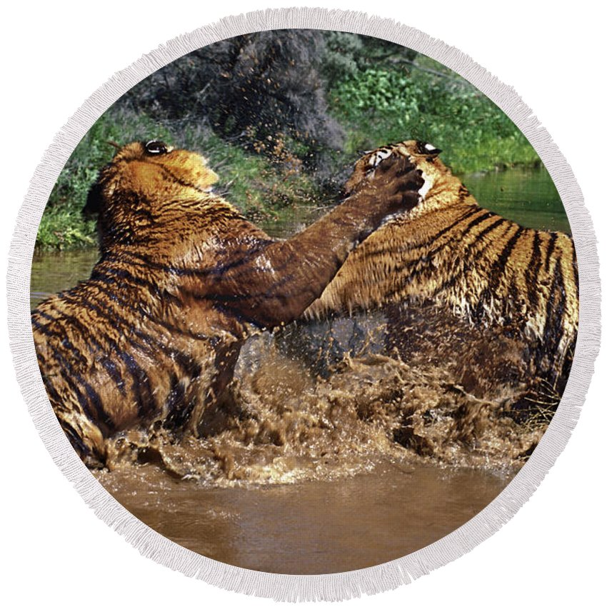 Bengal Tigers Round Beach Towel featuring the photograph Boxing Bengal Tigers Wildlife Rescue by Dave Welling