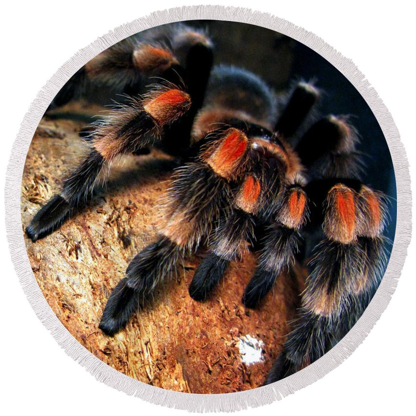 Spider Round Beach Towel featuring the photograph Brachypelma Smithi - Redknee Tarantula by Daliana Pacuraru