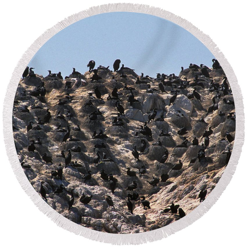 Animal Round Beach Towel featuring the photograph Brandts Cormorant Colony by Ron Sanford