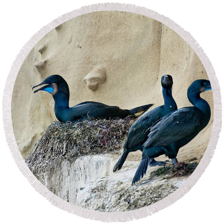 Brandt Round Beach Towel featuring the photograph Brandts Cormorant Nesting On Cliff by Anthony Mercieca